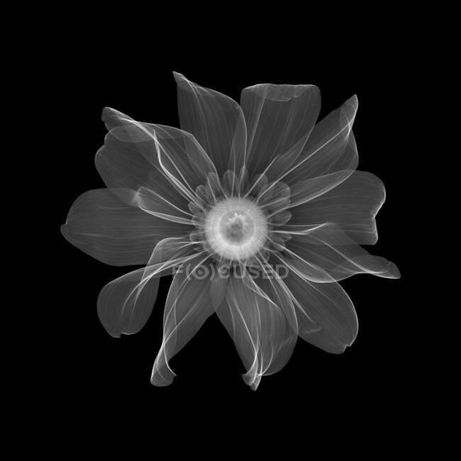 Rudbeckia flower, X-ray. — Stock Photo