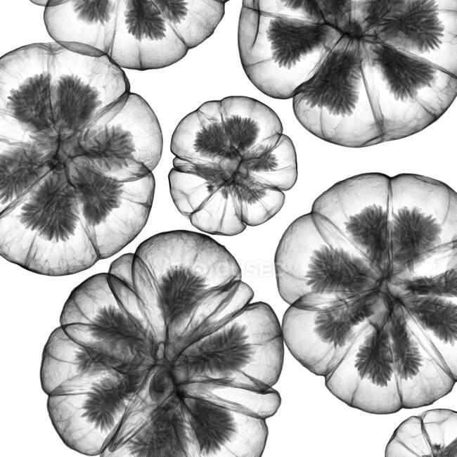 Семенные головки, рентген, рентген — стоковое фото