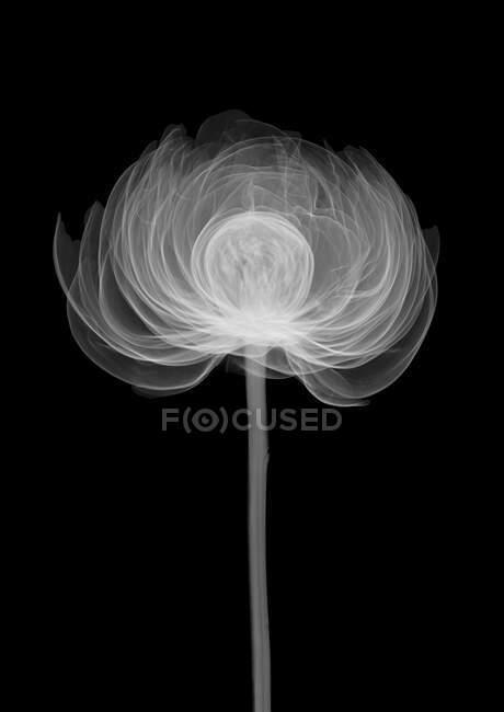 Peony flower (Paeonia officinalis), X-ray. — стокове фото