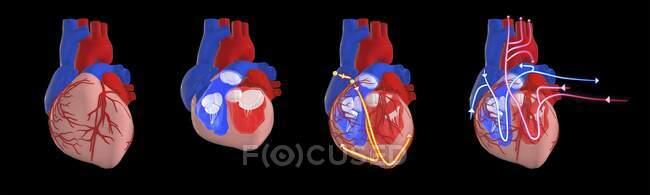 Sistema circulatorio y eléctrico del corazón humano, ilustración 3d. Sección transversal del corazón que muestra los ventrículos y válvulas, y el sistema eléctrico (de conducción) (líneas amarillas) y el sistema circulatorio (líneas rojas y azules)). - foto de stock