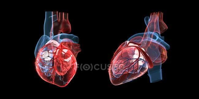 Anatomía de un corazón humano, vista frontal y lateral, ilustración 3d. - foto de stock