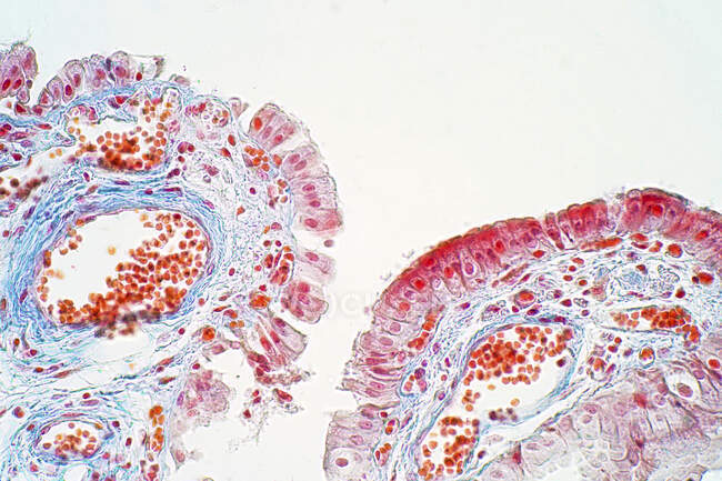 Epitelio columnar simple, micrografía ligera - foto de stock
