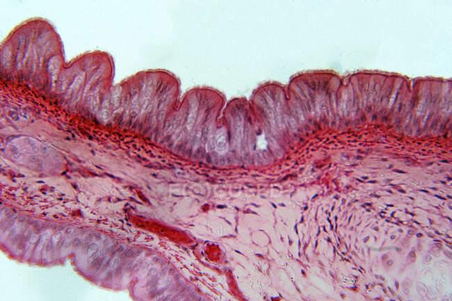 Epitelio pseudoestratificado, micrografía ligera. El epitelio pseudoestratificado es un tipo de epitelio que comprende solo una capa de células.. - foto de stock