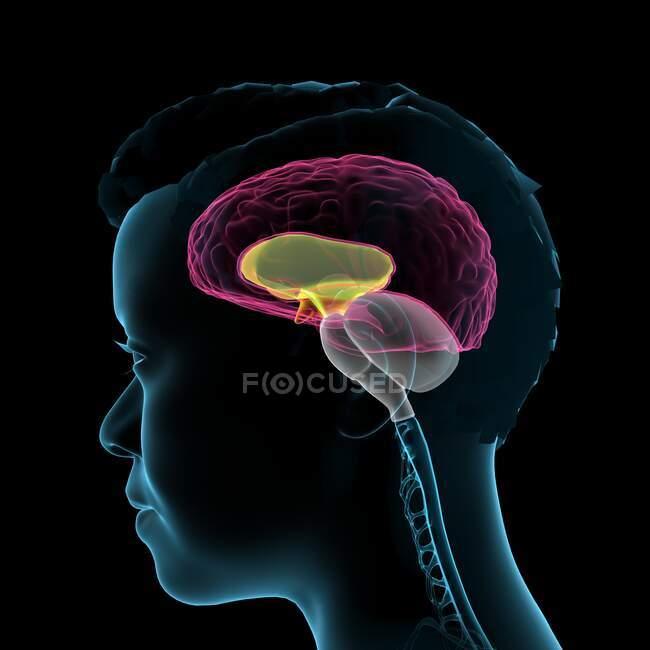 Anatomía del cerebro humano, ilustración 3D. - foto de stock