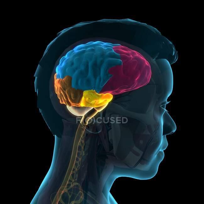 Anatomía cerebral humana, ilustración 3D. Los lóbulos del cerebro están codificados por colores: lóbulo frontal (rosa), lóbulo parietal (azul), lóbulo occipital (naranja) y lóbulo temporal (amarillo). - foto de stock