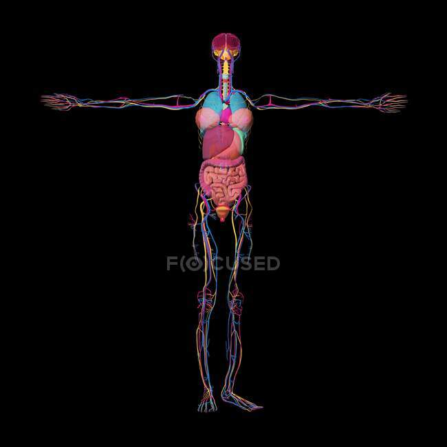 3d ilustración de los órganos internos de un cuerpo femenino, incluyendo el sistema cardiovascular y el sistema nervioso. - foto de stock