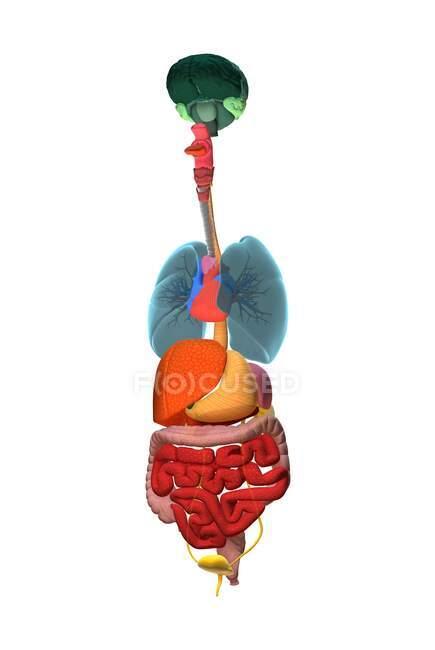 Torso humano con órganos internos, ilustración. - foto de stock
