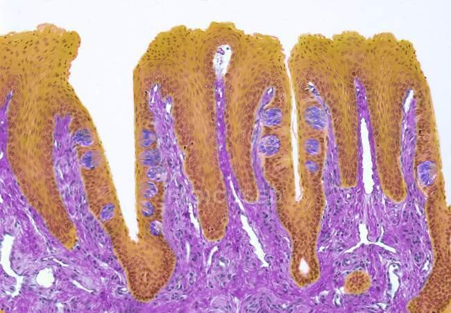 Brotes gustativos. Micrógrafo de luz de color de una sección a través de la lengua, mostrando papilas gustativas (redondas, moradas). Las papilas gustativas están dentro de las papilas (proyecciones) ubicadas en la superficie de la lengua. - foto de stock