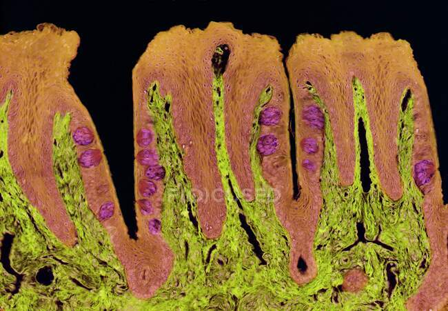 Taste buds. Coloured light micrograph of a section through the tongue, showing taste buds (round, purple). The taste buds are within papillae (projections) located on the surface of the tongue — Stock Photo