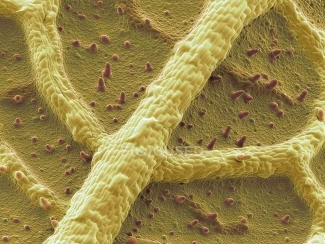 Hoja de capuchina. Micrografía electrónica de barrido coloreada (SEM) de la parte inferior de una hoja de capuchina (Tropaeolum sp.). Numerosos pelos (tricomas) cubren la superficie - foto de stock