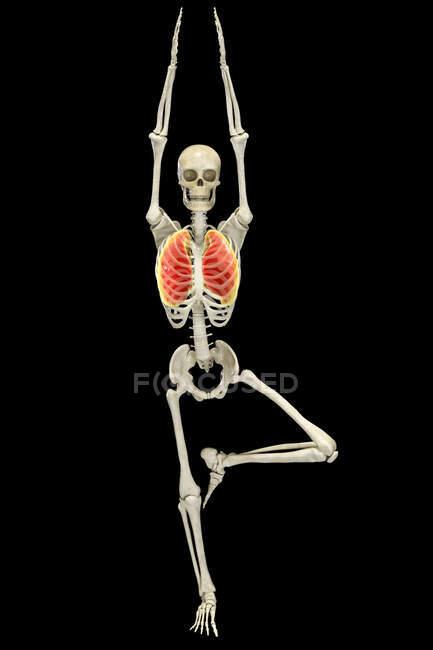 Esqueleto humano en posición de árbol de yoga, o vrikshasana, con pulmones resaltados, ilustración por computadora. Ejercicios respiratorios y meditación para la recuperación y prevención del covidio-19. - foto de stock