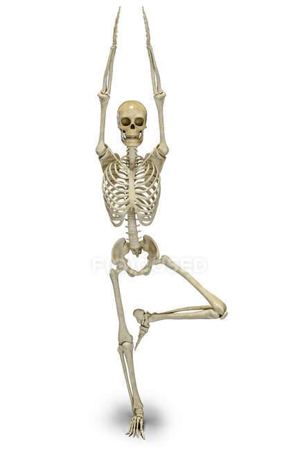 Esqueleto humano en posición de árbol de yoga, o vrikshasana. Ilustración por computadora que muestra actividad esquelética en esta postura de yoga. - foto de stock