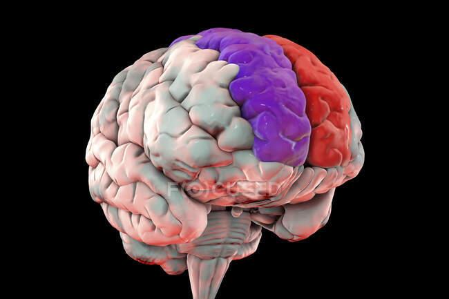 Ilustración del cerebro humano con giroscopio frontal superior destacado, también conocido como giroscopio marginal. Se encuentra en el lóbulo frontal y se asocia con la conciencia de sí mismo y la risa. - foto de stock