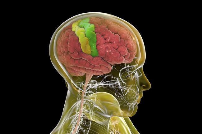 Cerebro humano con giroscopio precentral y postcentral resaltado, ilustración computacional. Los sitios de la corteza motora primaria (giro precentral) y somatosensorial (giro postcentral). - foto de stock