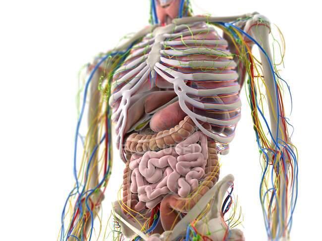 Órganos abdominales, ilustración por ordenador - foto de stock