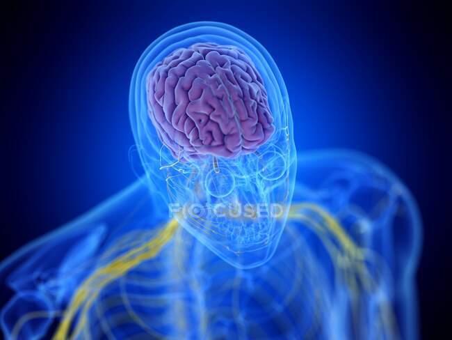 Cerebro humano, ilustración por ordenador - foto de stock