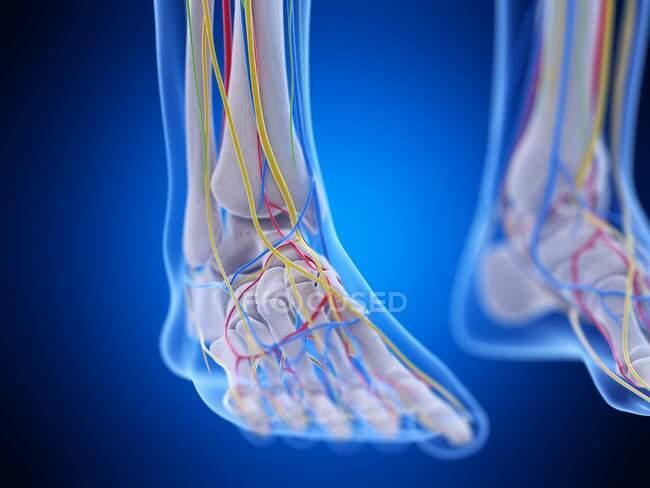 Anatomía del pie, ilustración por ordenador - foto de stock