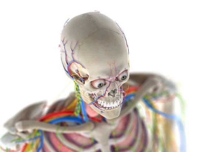 Anatomía de la cabeza, ilustración por computadora - foto de stock