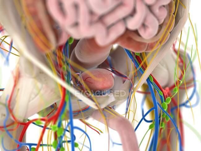 Anatomía pélvica, ilustración por ordenador - foto de stock
