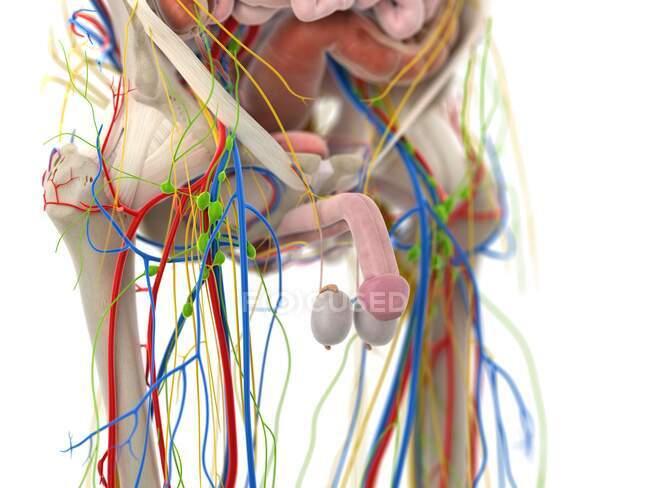 Órganos pélvicos, ilustración por ordenador - foto de stock