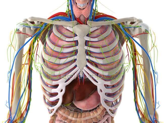 Anatomía del tórax, ilustración por computadora - foto de stock