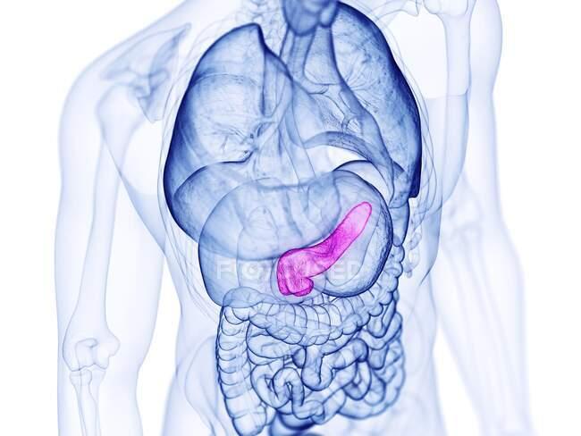 Páncreas humano, ilustración por computadora - foto de stock