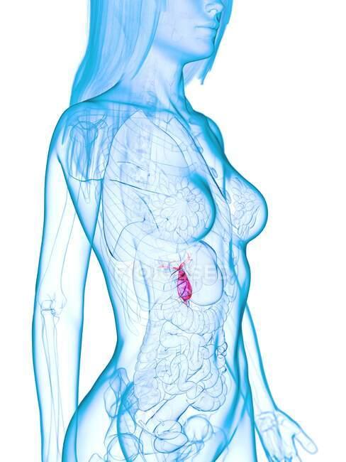 Enfermedad de vesícula biliar, ilustración por computadora - foto de stock