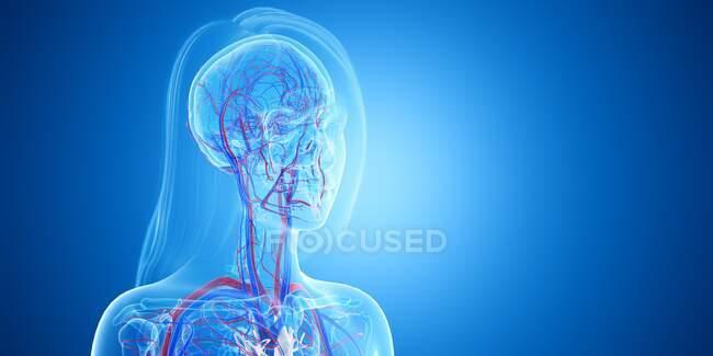 Vasos sanguíneos de la cabeza, ilustración. - foto de stock