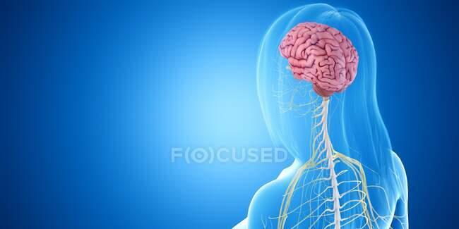 Cerebro femenino, ilustración por ordenador - foto de stock
