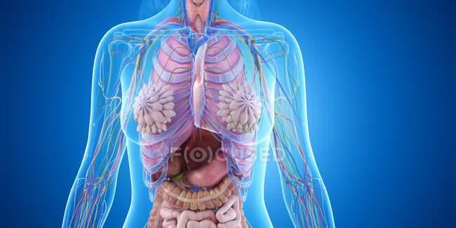 Anatomía del tórax femenino, ilustración por ordenador - foto de stock