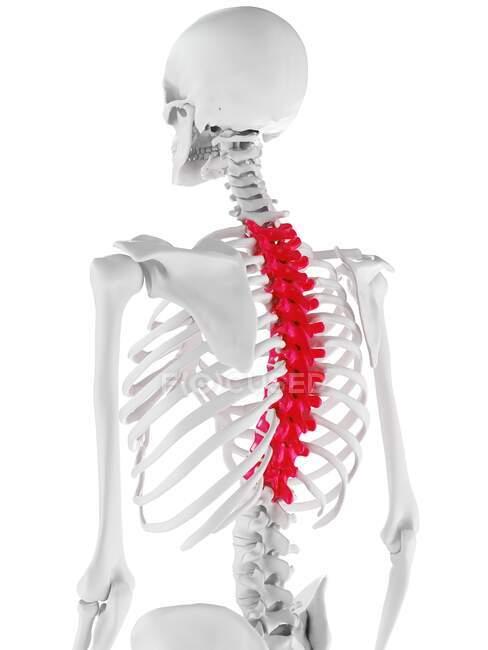 Espina dorsal torácica, ilustración por ordenador - foto de stock