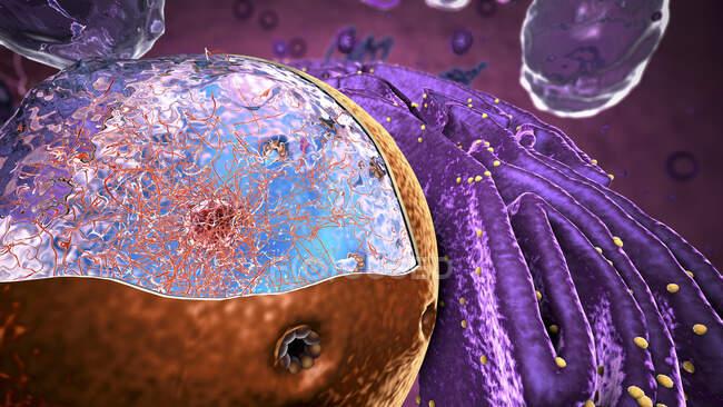 3d ilustración del núcleo dentro de una célula eucariótica. El núcleo contiene la información genética de la célula en forma de ADN (ácido desoxirribonucleico). El ADN se complica con proteínas y se almacena como cromatina - foto de stock