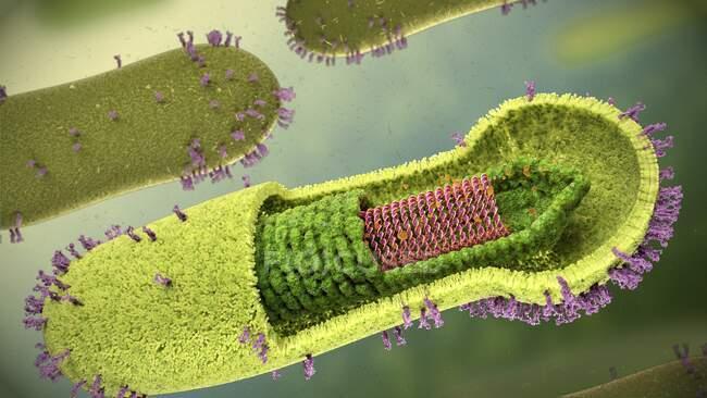 Estructura del baculovirus, ilustración. Los baculovirus son virus envueltos en forma de varilla (bicapa lipídica amarilla), con un genoma de ADN de doble cadena (ácido desoxirribonucleico, rojo) envasado dentro de nucleocápsidos (capas de proteínas, verde) - foto de stock
