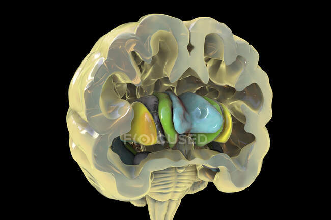 Ilustración computarizada de los ganglios basales, mostrando núcleos caudado (verde), putamen (amarillo) y ventrículos laterales (azul). - foto de stock