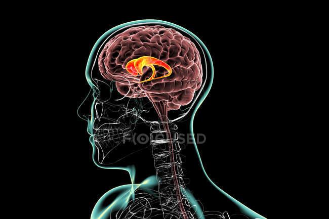 Núcleos caudatales resaltados en el cerebro humano, ilustración. El núcleo caudado es un componente de los ganglios basales, se asocia con procesos motores y desempeña un papel en las enfermedades de Huntington y Parkinson.. - foto de stock