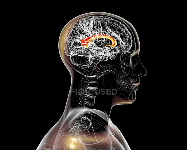 Cerebro humano con cuerpo calloso resaltado, también conocido como comisura callosa, ilustración. Es un tracto nervioso ancho y grueso que conecta los hemisferios cerebral izquierdo y derecho.. - foto de stock