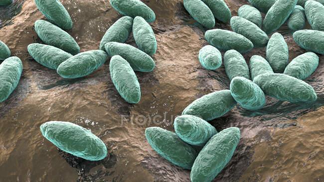 Bacterias Brucella, ilustración. Bacterias pleomórficas gramnegativas que causan brucelosis en bovinos y humanos y que se transmiten a los seres humanos por contacto directo con animales enfermos o por leche contaminada. - foto de stock