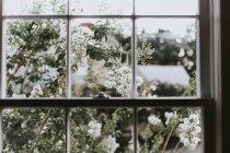 Flores blancas que crecen cerca de la ventana - foto de stock