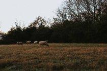 Sheep herding in field — Stock Photo