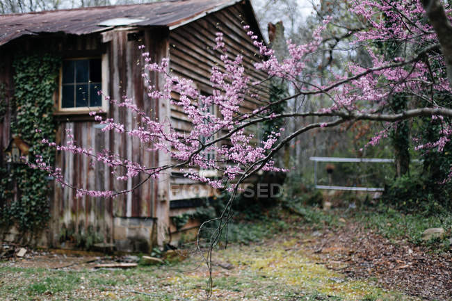 Fruit tree blossoming near old house — Stock Photo