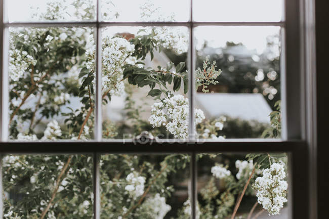 Weißen Blüten wachsen in der Nähe von Fenster — Stockfoto