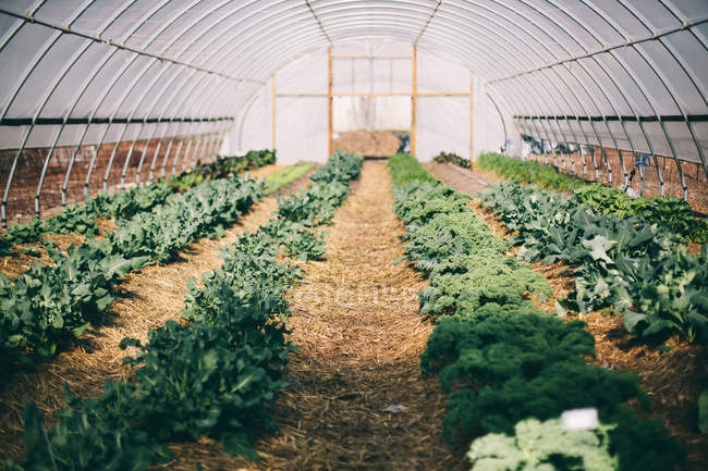 Greens growing in greenhouse — Stock Photo