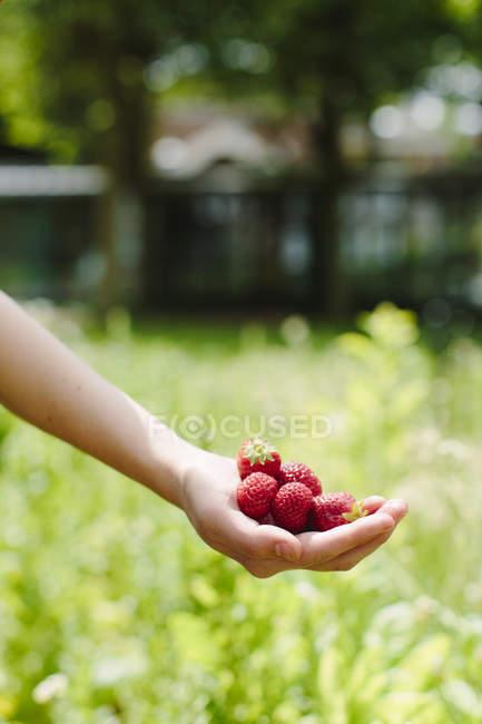 Female hand holding strawberries — Stock Photo