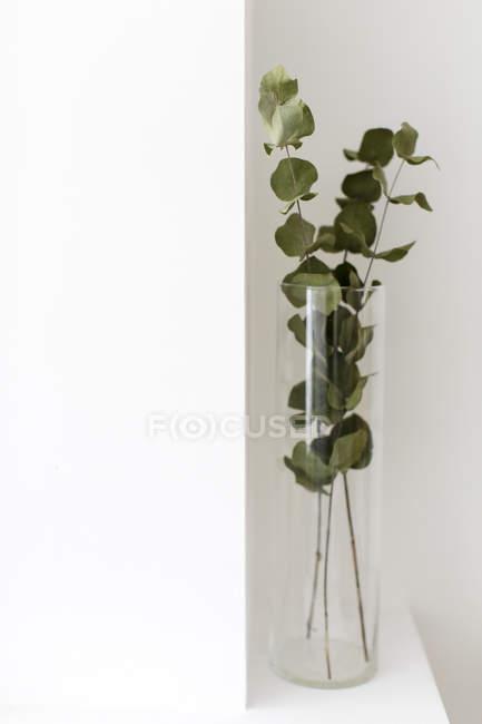 Eucalyptus Branches In Glass Vase Stock Photo 160971028