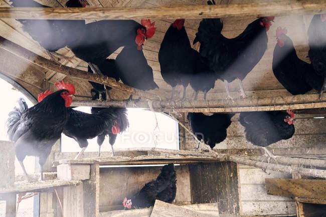 Noirs coqs et poules dans la grange de la ferme — Photo de stock