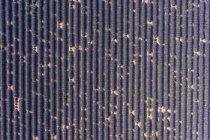 Vast lavender fields — Stock Photo