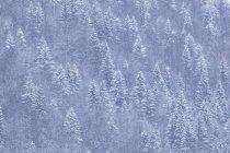 Kiefernwald im Winter — Stockfoto