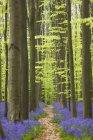 Colpo di Foresta Blu del Belgio — Foto stock
