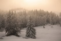 Snowy forest on mountain slope — Stock Photo