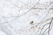 Common chaffinch in the frozen landscape — Stock Photo